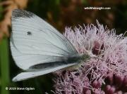Cabbage butterfly-Piers rapae © 2019 Steve Ogden 2505