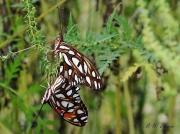 gulf-fritillary-butterflies- (Agraulis vanillae) 2516