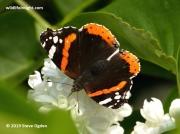 Red Admiral butterfly (Vanessa atalanta) 0281