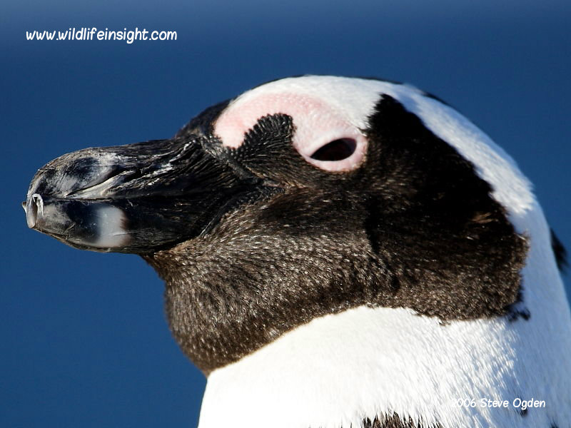 African Jackass Penguin (Spheniscus demersus) Boulders Beach colony, Cape Peninsular, South Africa © Steve Ogden
