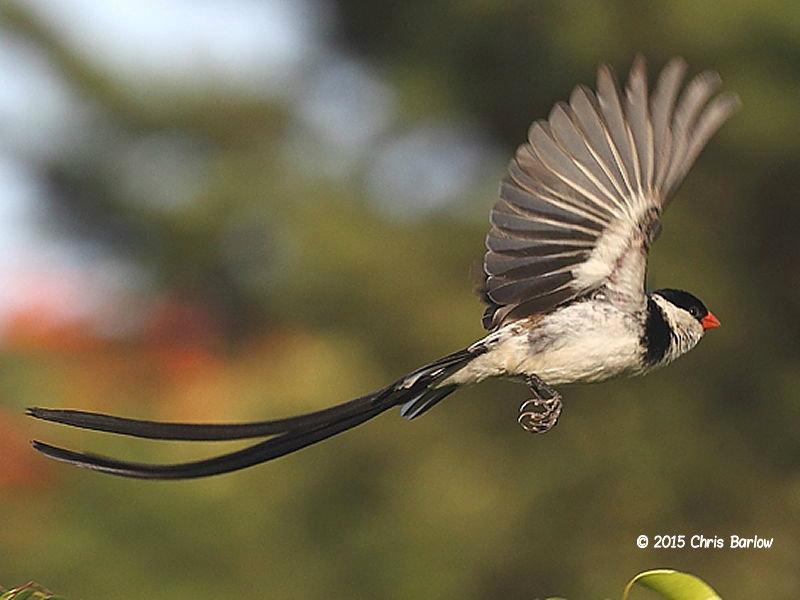 Pin-tailed Whydah @ Kericho Tea Hotel Kenya © 2015 Chris Barlow
