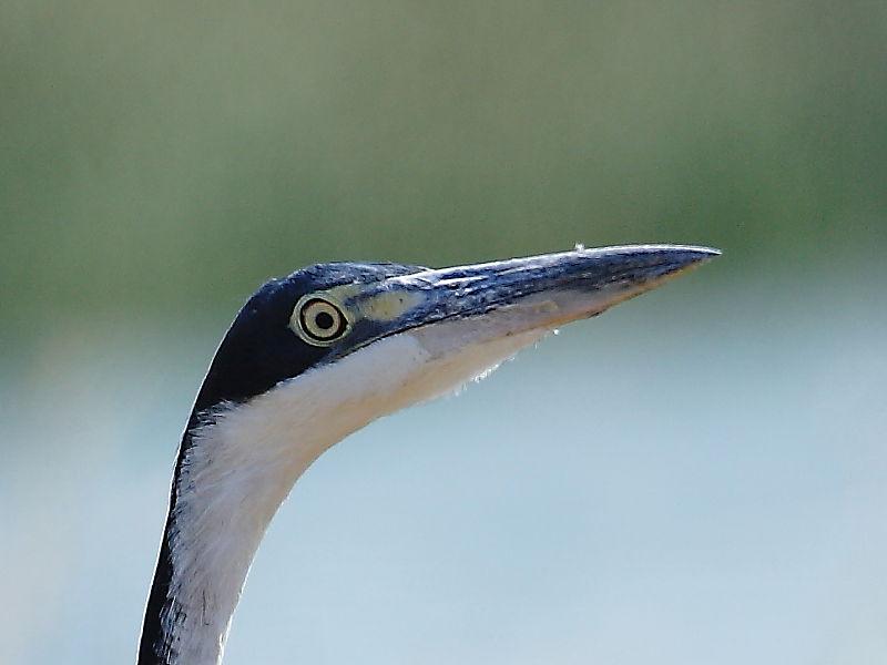 Black-headed Heron (Ardea melanocephala) South Africa © Steve Ogden