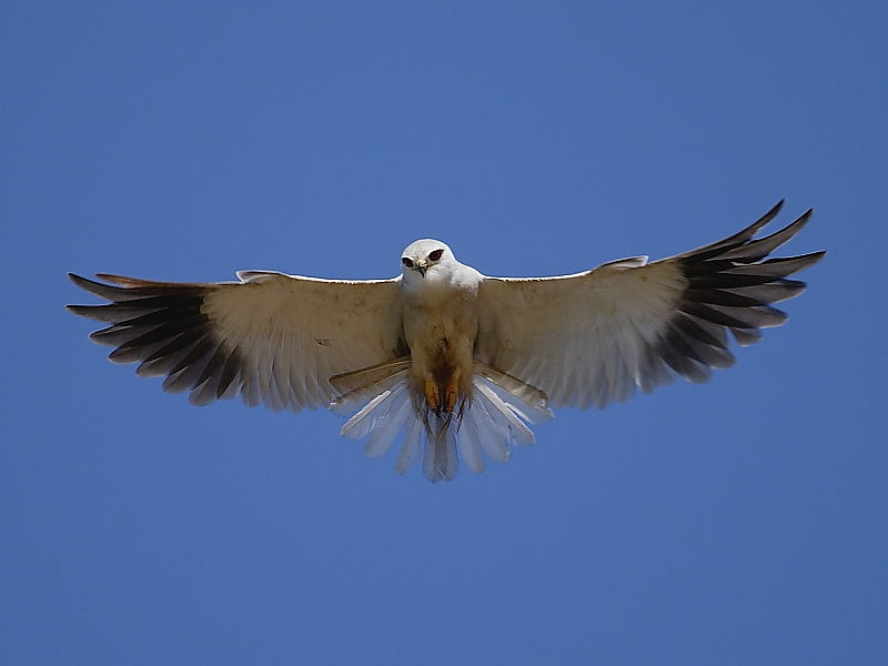 Black-shouldered Kite hovering beside coastal road on the Cape Peninsula, South Africa © 2006 Steve Ogden