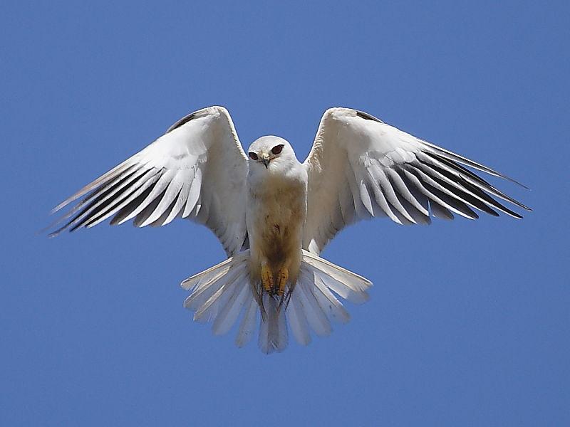 Black-shouldered Kite South Africa © 2006 Steve Ogden