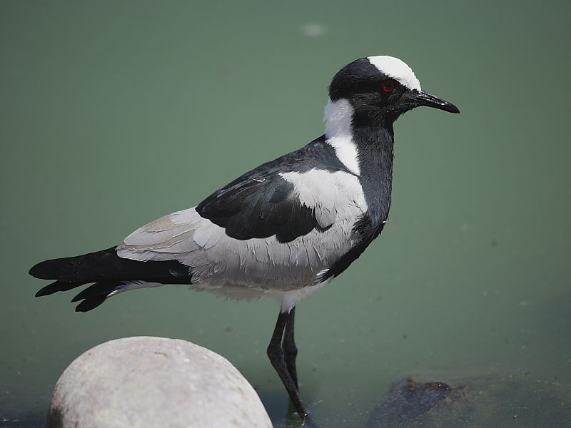Blacksmith Lapwing South Africa © 2006 Steve Ogden