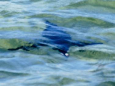 African Jackass Penguin (Spheniscus demersus) swimming underwater
