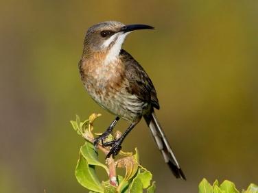 Cape Sugarbird (Promerops cafer) - female