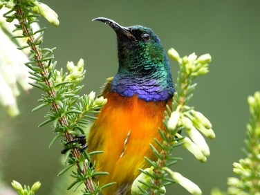 Orange-breasted Sunbird (Anthobaphes violacea)  Cape Peninsula, South Africa