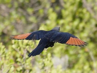 Red-winged Starling South Africa Birds © 2006 Steve Ogden