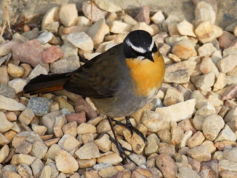 Cape Robin-chat, (Cossypha caffra) © Steve Ogden