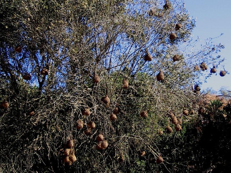 Cape Weaver Bird nesting colony, Darling Farmlands, South Africa © 2006 Claire Ogden