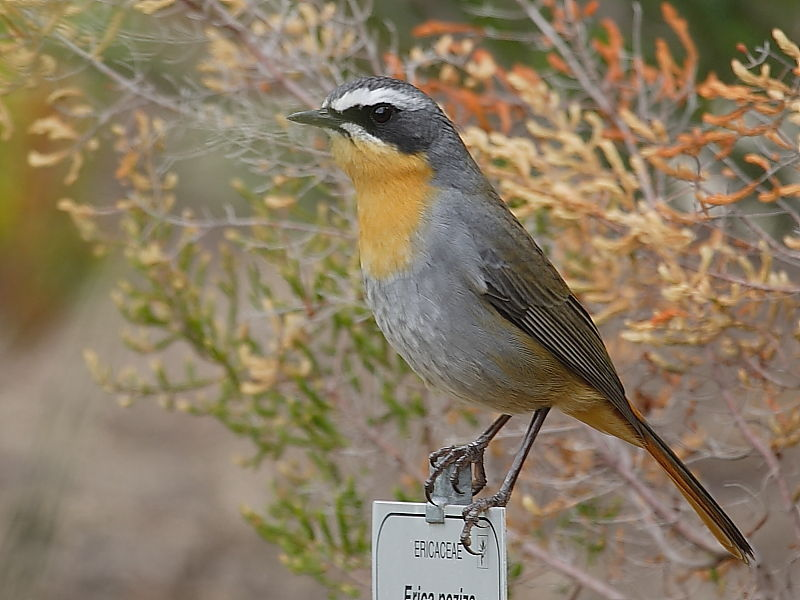 Cape Robin-chat Kirstenbosch South Africa © Steve Ogden
