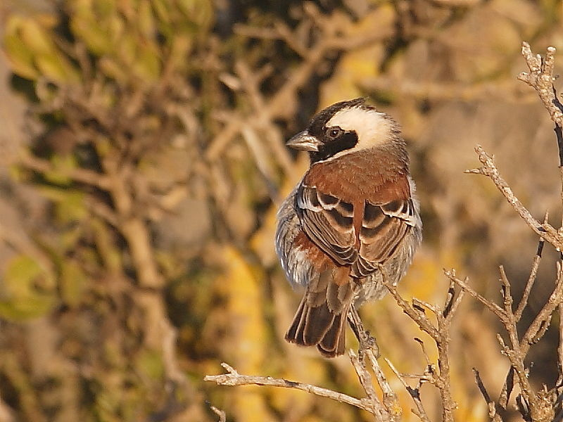 Cape Sparrow South Africa © 2006 Steve Ogden
