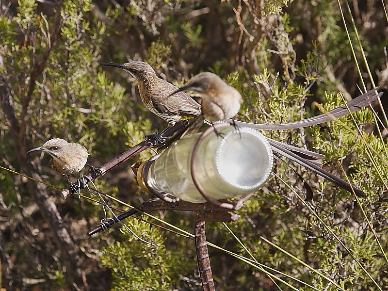 Cape Sugarbirds South Africa © Steve Ogden