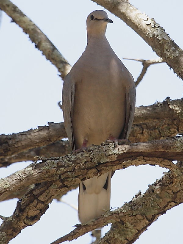 Cape Turtle-dove South Africa © 2006 Steve Ogden
