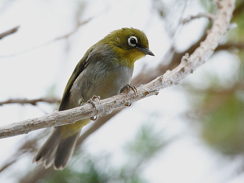 Cape White-eye South Africa © Steve Ogden