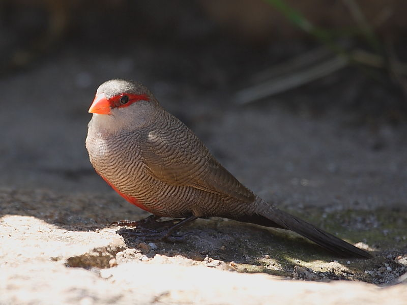 Common Waxbill (Estrilda astrild) South Africa © Steve Ogden