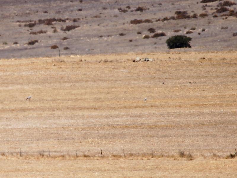 Blue Crane (Anthropoides paradiseus) - distant views of birds feeding on Darling farmland, South Africa © Steve Ogden