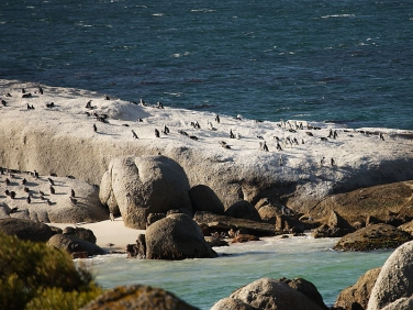 African Jackass Penguins (Spheniscus demersus) Boulders Beach colony, Cape Peninsular,South Africa