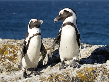African Jackass Penguins (Spheniscus demersus) Simon's town, Boulders Beach, Cape Peninsular,