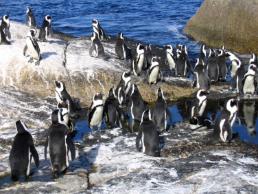 African Penguin Colony, Boulders Beach, Simons Town, Cape Peninsular,