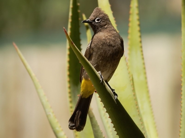 Cape Bulbul, Geelbek Visitors centre, West Coast National Park, South Africa