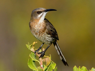 Cape Sugarbird (Promerops cafer) - female
