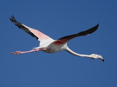 Greater Flamingo flying over  Strandfontein sewage works, Cape Town, South Africa © Steve Ogden