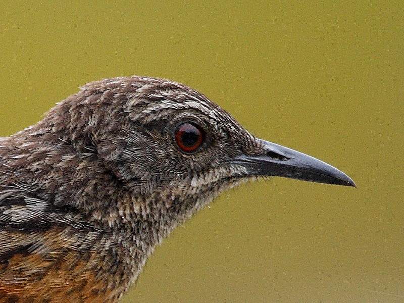 Cape Rock-jumper - head of female/juvenile, South Africa © 2016 Steve Ogden