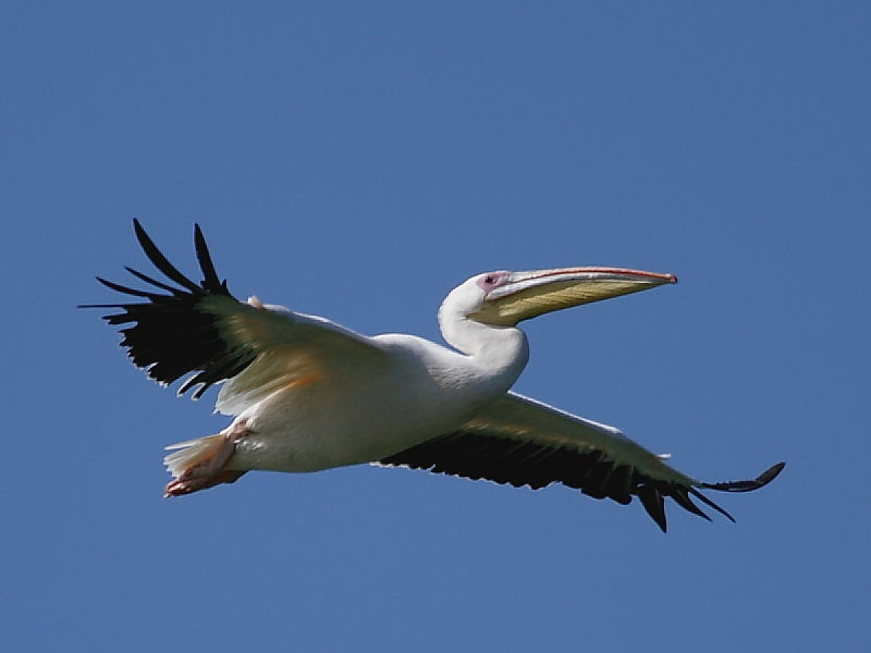 Great White Pelican South Africa  © 2006 Steve Ogden