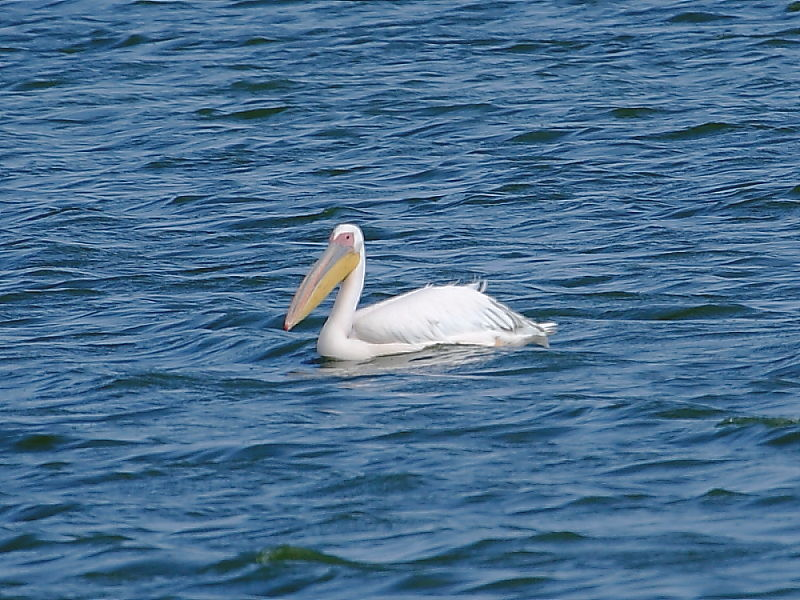 Great White Pelican Strantfontein Cape Town South Africa © 2006 Steve Ogden