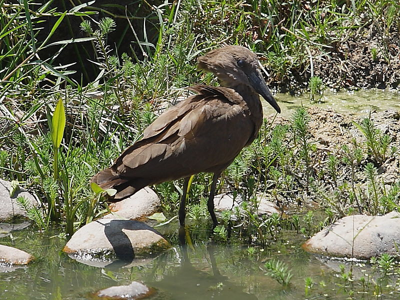 Hamerkop South Africa © 2006 Steve Ogden