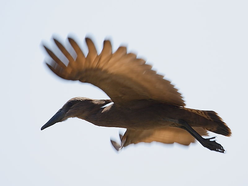 Hamerkop in flight South Africa © 2006 Steve Ogden