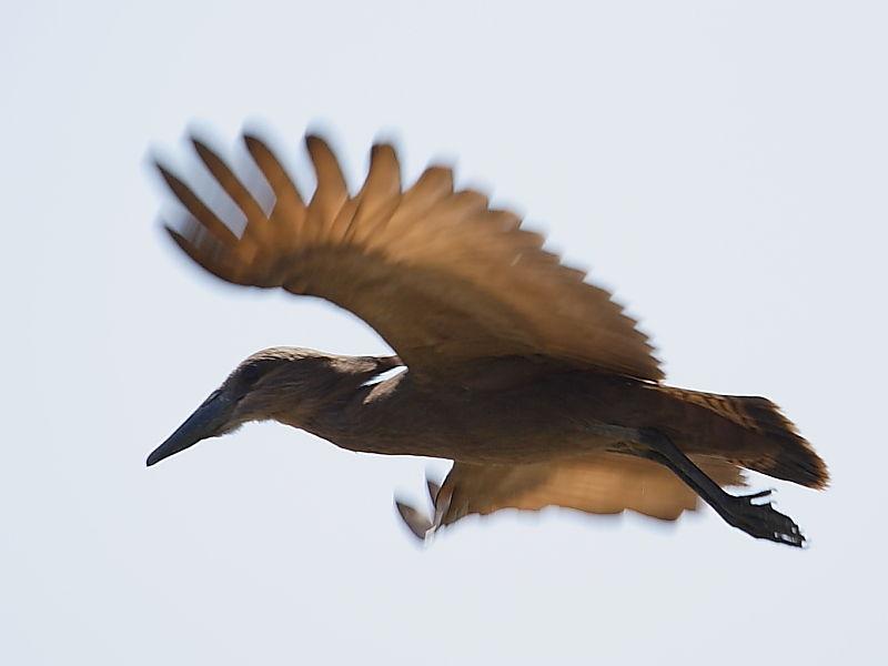 Hamerkop in flight South Africa © 2006 Steve Ogden