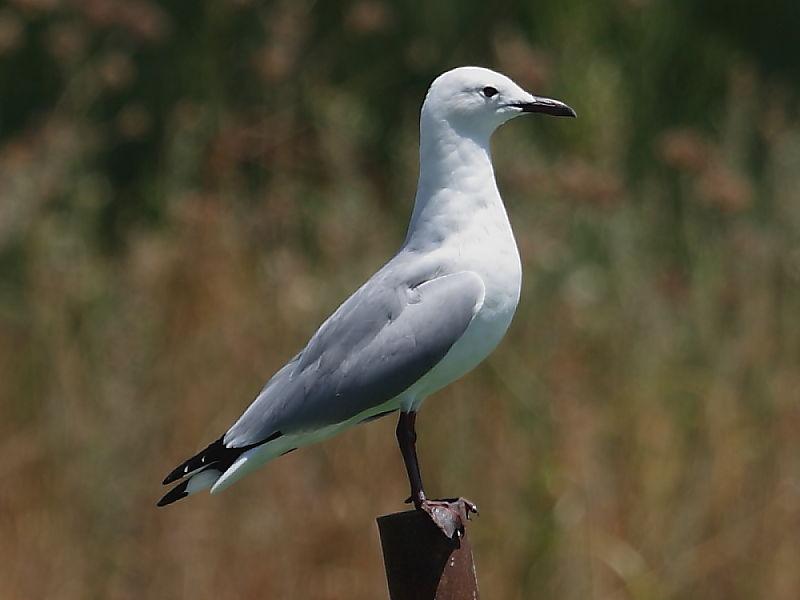Hartlaubs Gull South Africa © 2006 Steve Ogden