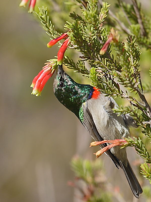 Lesser Double-collared Sunbird South Africa © 2006 Steve Ogden