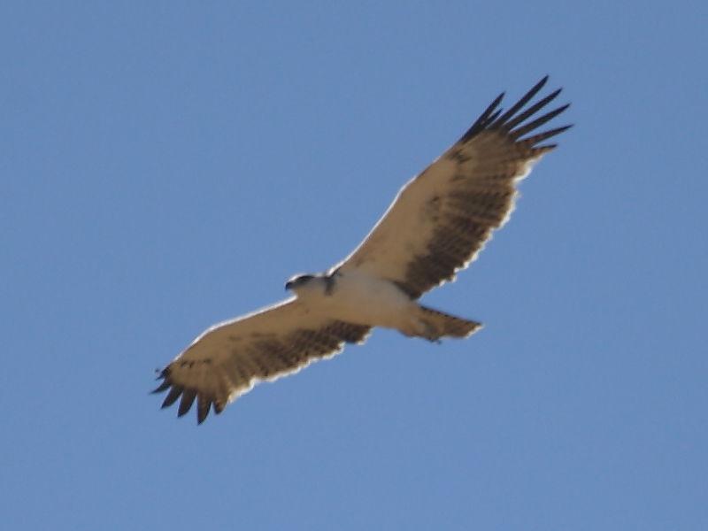 Martial Eagle South Africa © 2006 Steve Ogden