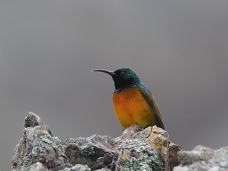 Orange-breasted Sunbird (Anthobaphes violacea) © Steve Ogden