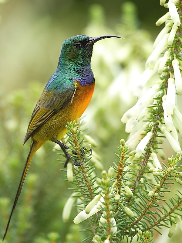 Orange-breasted Sunbird (Anthobaphes violacea) © 2006 Steve Ogden