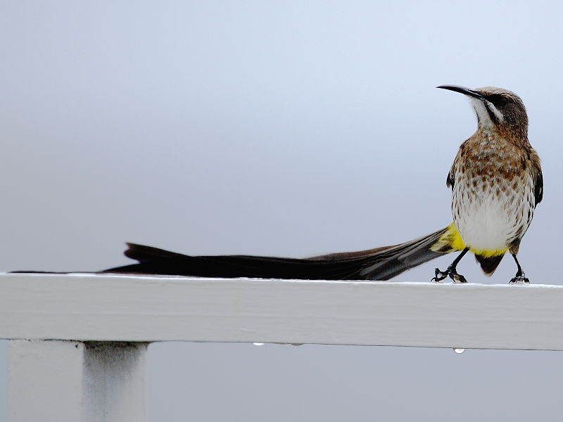 Cape Sugarbird (Promerops cafer) on holiday apartment balcony, South Africa, Cape Peninsular © Steve Ogden
