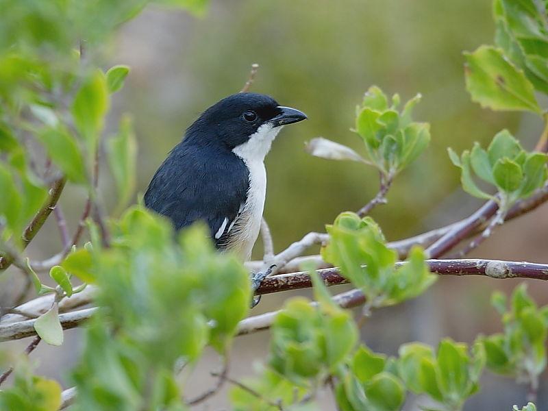 Southern Boubou, South African Birds © 2006 Steve Ogden