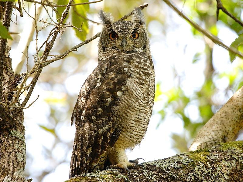 Spotted Eagle-owl (Bubo africanus) in Kirstenbosch National Botanical Gardens, Cape town © 2006 Steve Ogden