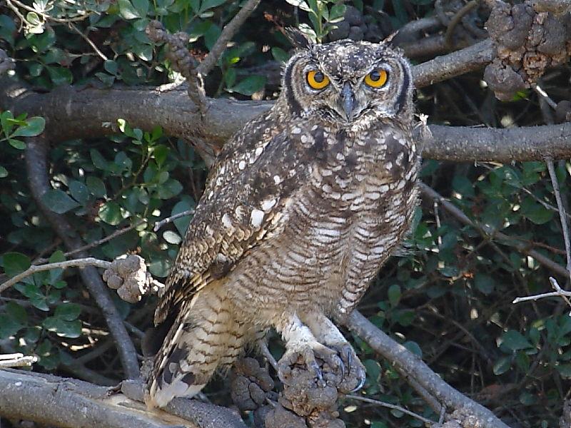 Spotted Eagle-owl South Africa Birds © 2006 Steve Ogden