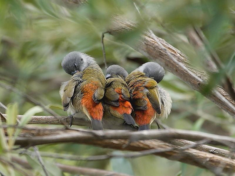 Swee Waxbill kirstenbosch South Africa © Steve Ogden