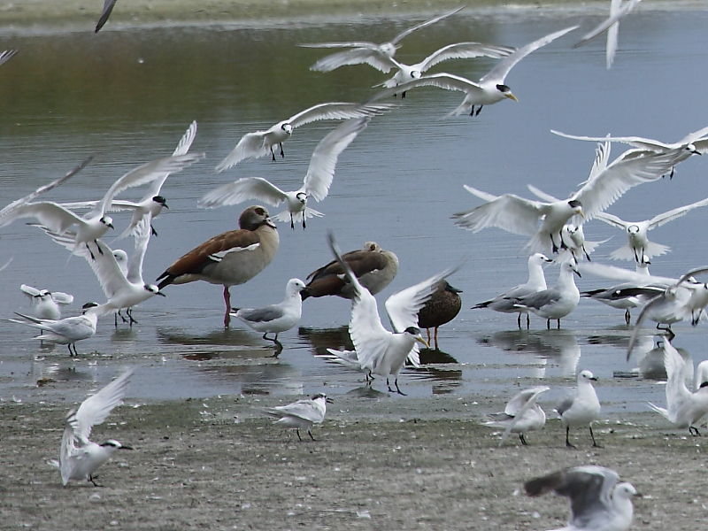 Gulls. Terns and Egyptian Geese at Strandfontein Sewage works, Cape Town, South Africa © 2006 Steve Ogden