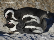 african-penguins_3754