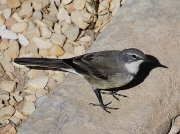 Cape Wagtail South Africa © Steve Ogden
