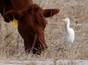 cattle-egret-and-cow-south-africa-3954
