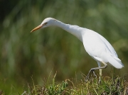 Cattle Egret (Bulbulcus ibis)