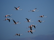 Flock of Greater Flamingo at Strandfontein, Cape Town, South Africa